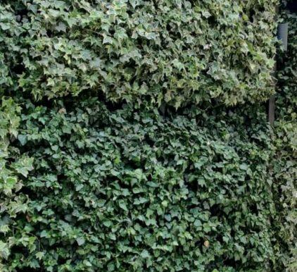 קיסוס ירוק או מגוון